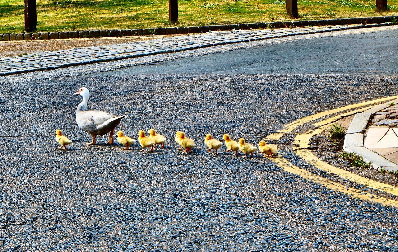 ducks-2683033_1280